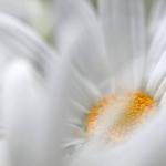 floare alba diafana