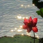 lotus rosu